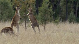 image de la recommandation La vie secrète du kangourou