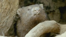 image du programme La vie secrète du wombat