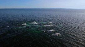 image du programme L'énigme des Belugas