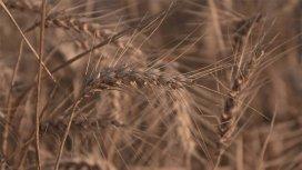 image du programme Notre pain quotidien : le blé