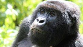 image du programme Gorilla Doctors