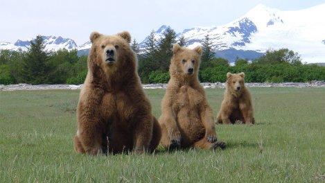Dans la peau d'un grizzly