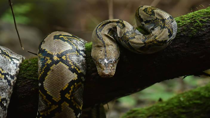 Au secours des serpents pendant la mousson