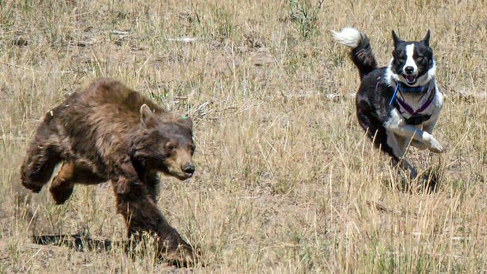 GEO Reportage - Les chiens traqueurs d'ours du