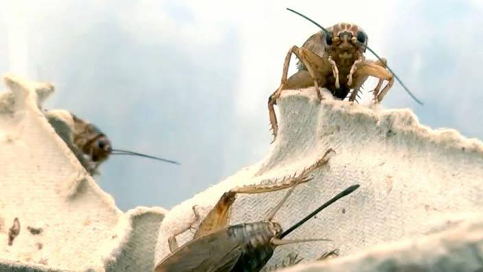 GEO Reportage - Les insectes, nourriture de
