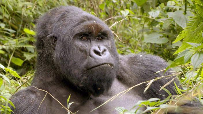 GEO Reportage - Virunga, les gorilles en péril