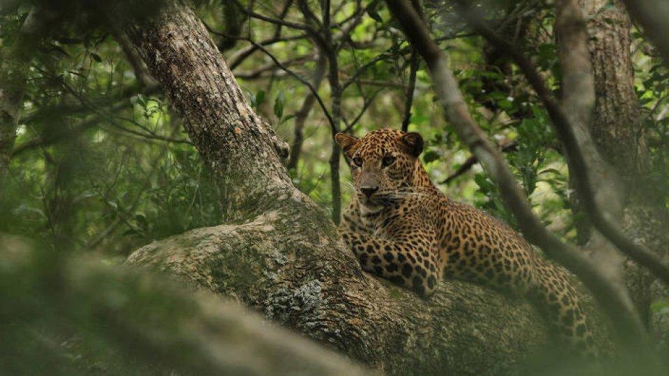 Le Sri Lanka, royaume du léopard