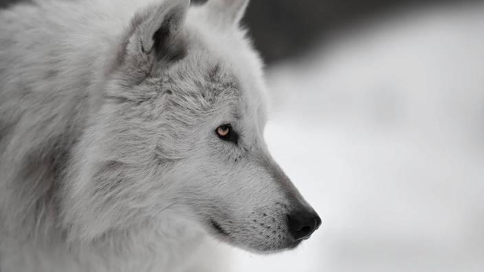 Une louve en danger