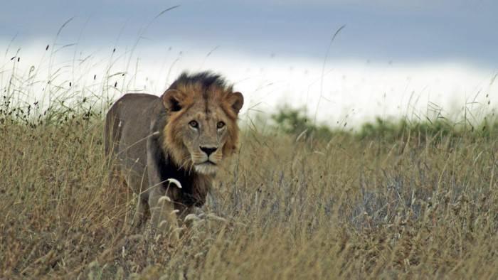 Image du programme Les Masaï et le lion