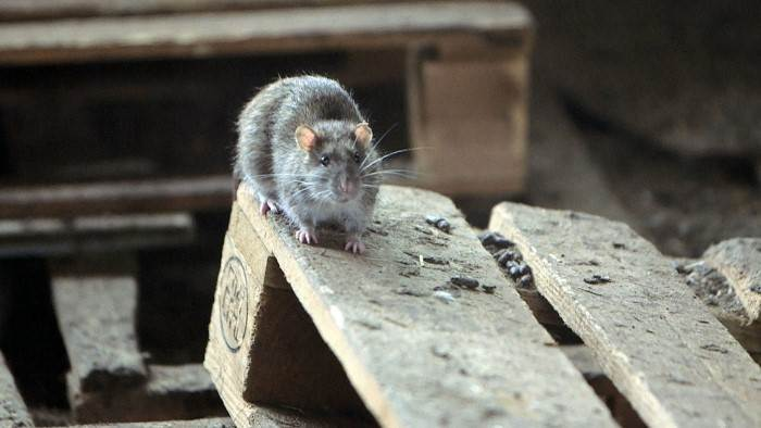 Image du programme Rats : la poule aux oeufs d'or