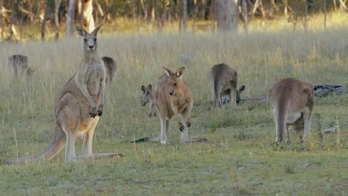 Image du programme La vie secrète du kangourou