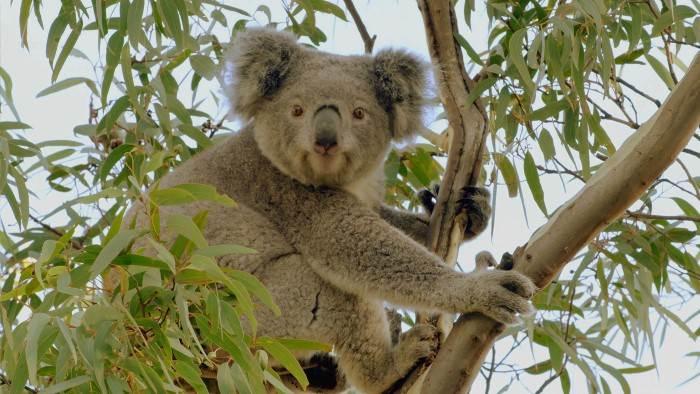 Image du programme La vie secrète du koala